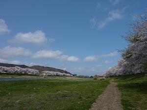 白石川沿いに並ぶ、一目千本桜