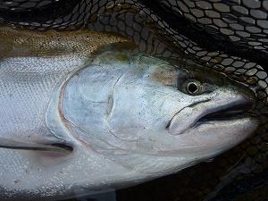 サクラマスは主にミノーとスプーンを魚のいる層と魚影が停滞している距離で使い分けると効果的です。