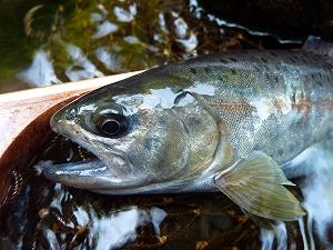 夏の渓流ではこんな美しい鱒達と出会える。