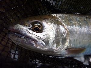 30cmに満たない小さな魚ではあるが、その表情はサクラマスの血統そのもの。