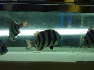 イシダイの幼魚・シマダイも水槽に沢山いました。