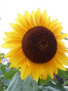 夏の花の一つ、ヒマワリ。また来年の開花の時期までしばしのお別れだ。