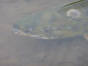 かつてアイヌの人々が神の魚と呼んだサケ。その生きざまには私達への道しるべを示してくれている気がしてならない。