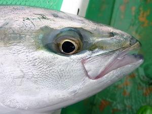 ブリ族の魚も近くで観察すると凄く愛嬌があって、きれいな顔つきの魚であることが分かります。