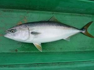 ロックフィッシュやフラットフィッシュとはまるで異なる青物特有の弾丸系の魚体。
