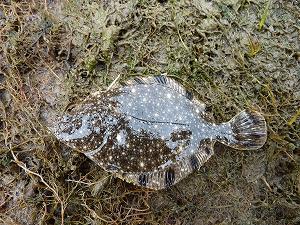 スプーンにヒットしたカワガレイ(ヌマガレイ)の幼魚。