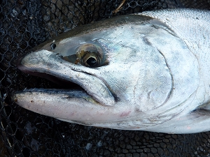 大海を回遊して帰還した魚の表情は、深い。