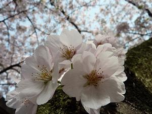 満開の桜とも一年越しのお別れの季節となりました。