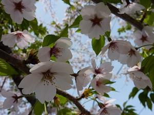 満開の桜と新緑の葉が瑞々しい季節。