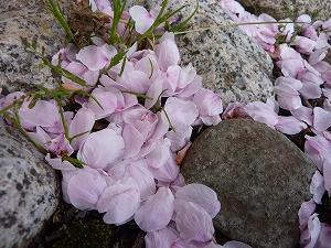 色鮮やかに散った、桜の花びら
