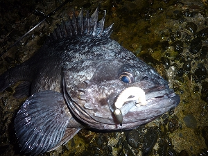 この魚体、この目つき。これぞ「ソイ」という見事な魚です。