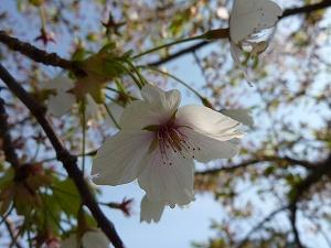 北海道はまだ桜が咲いていた。春の訪れを二度も感じることができて、うれしくなった。