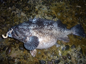 口元のダブルウェーブと比較すれば、この魚のデカさがいかなるものか…分かると思います。