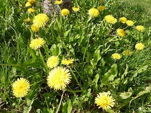 咲き誇るタンポポ。北国は、遅い春の訪れに色めいていた。