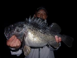 """安瀬君が釣った50cmのクロソイ。ガルプSWダブルウェーブ3""""のライトテキサスにて。"""