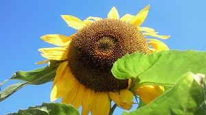 夏の陽の光を浴びてたくましく成長したヒマワリ。見てるだけで元気になります。