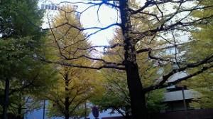 街のイチョウの葉は鮮やかな黄色に変わりました。間もなく冬、本番の季節ですね。