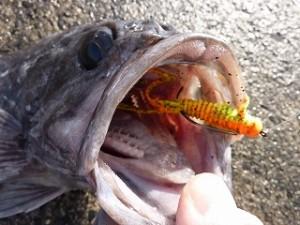 クロソイのレンジに合わせたフォールスピードと喰わせの間合いを獲れれば、そこに魚がいる限り、釣る方法はあるのです。