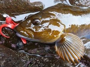 シャローで掛けた魚は横っ走りするだけに、それはまたスリリングなファイトで魅了してくれます。