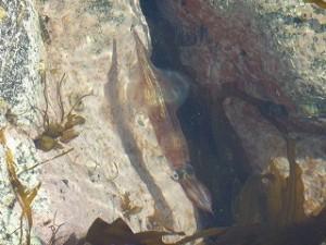ロケ中に見つけたヤリイカ。磯のタイドプールに普通にいました(笑)本当に北海道は凄いですよね。