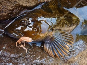 本当に美しいアイナメです。根魚の顔つきってトラウト的な気品の高さがありますよね。
