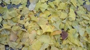 黄色に染まった鮮やかなイチョウの葉の絨毯のようです。