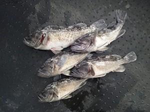 宮城県松島湾のクロソイ。デイゲームでこれほどのサイズが釣れるのなれば行く価値、大アリです。