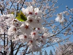 北国にも到達した桜前線。只今、東北の地は春、満開です!