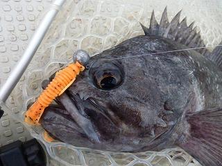 オレンジタイガー大変良く釣れます!