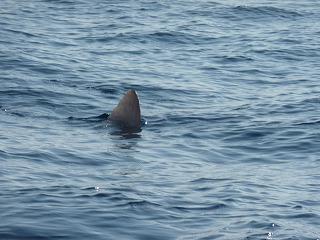 サメの背ビレかと思いきや…