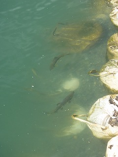 気仙川にはサケの姿がありました。