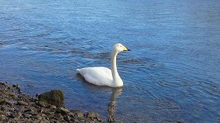 美しき冬鳥・白鳥とも出会いました