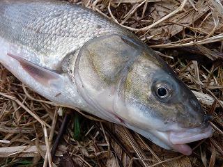 マルタウグイ。低水温下でもコイ科の魚はいち早く行動を開始するグループですよね。