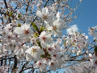 桜、花旅。そんな魚たちとの出会いの季節も間もなく…。